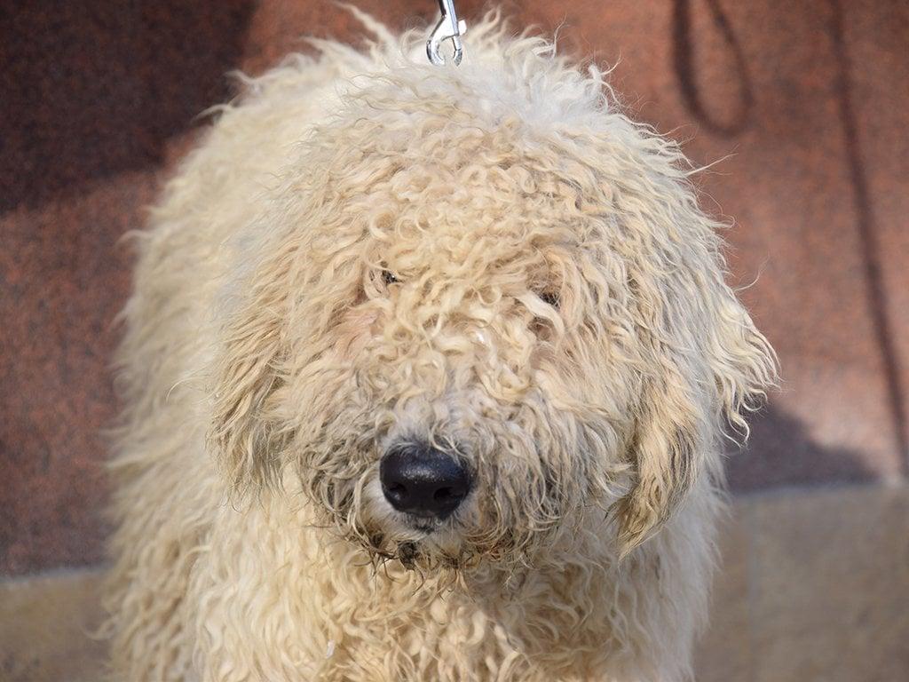 Curly Sue Komondor Puppy For Sale Euro Puppy