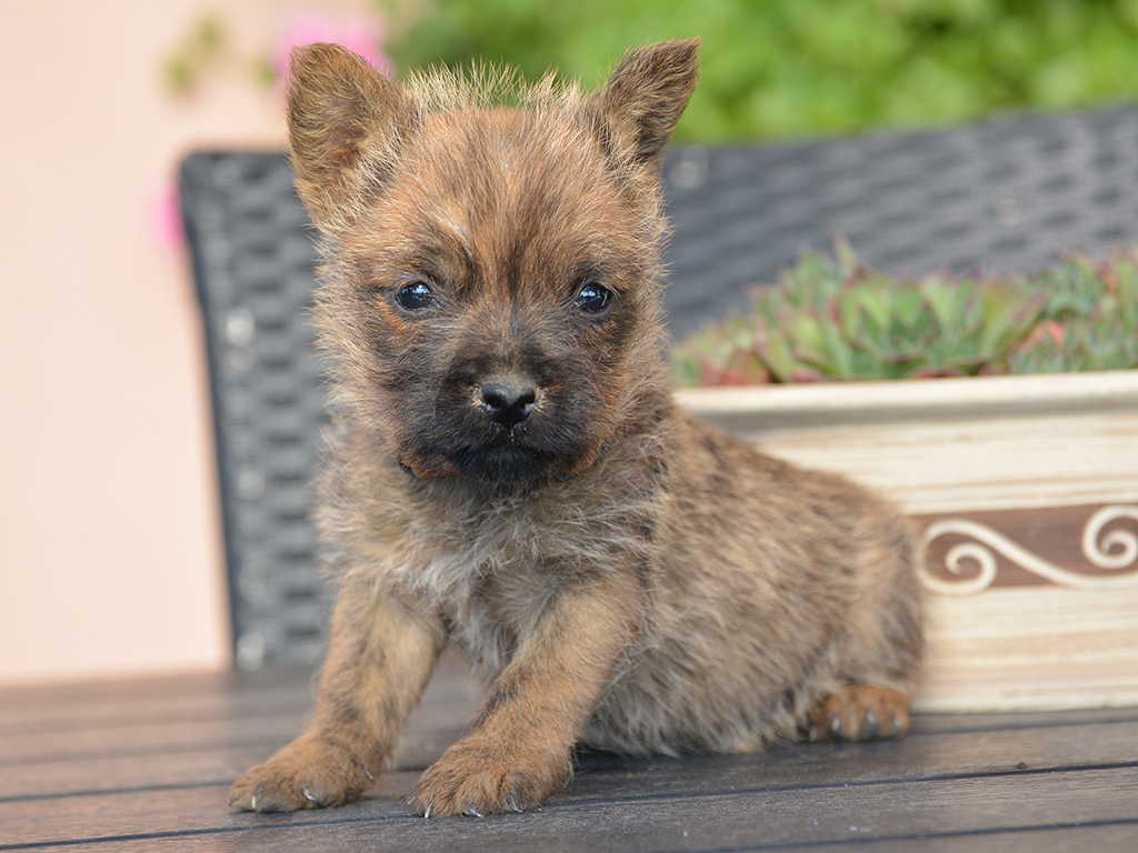 Queenie - Cairn Terrier Puppy for sale | Euro Puppy