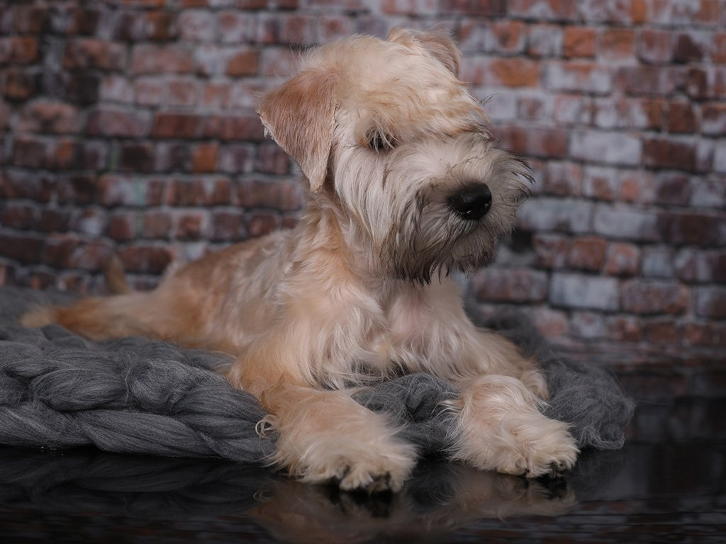 April Soft Coated Wheaten Terrier Puppy For Euro