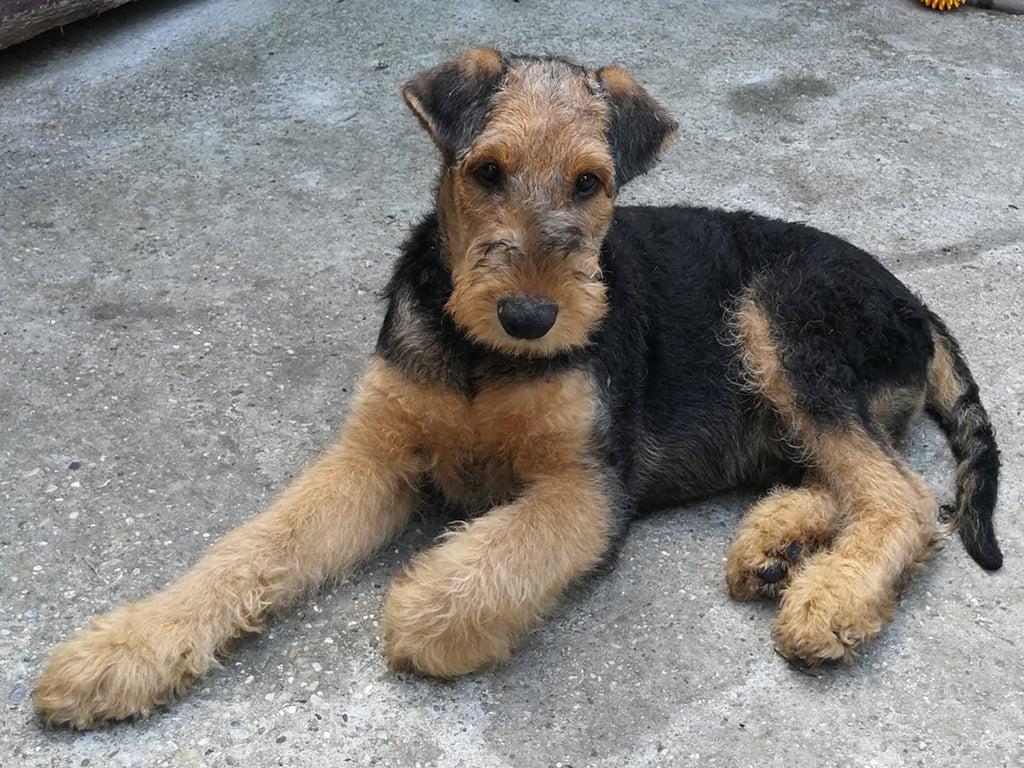El Dorado Airedale Terrier Puppy For