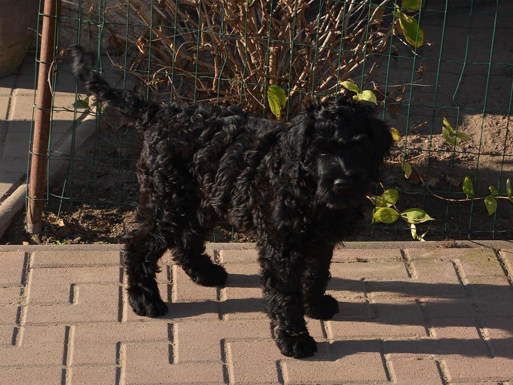 Coimbra - Portugiesischer Wasserhund Puppy for sale | Euro Puppy