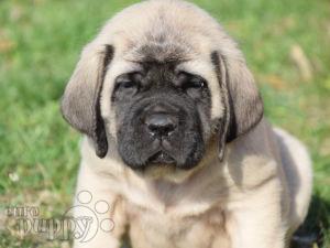 English Mastiff For Sale | English Mastiff Puppies