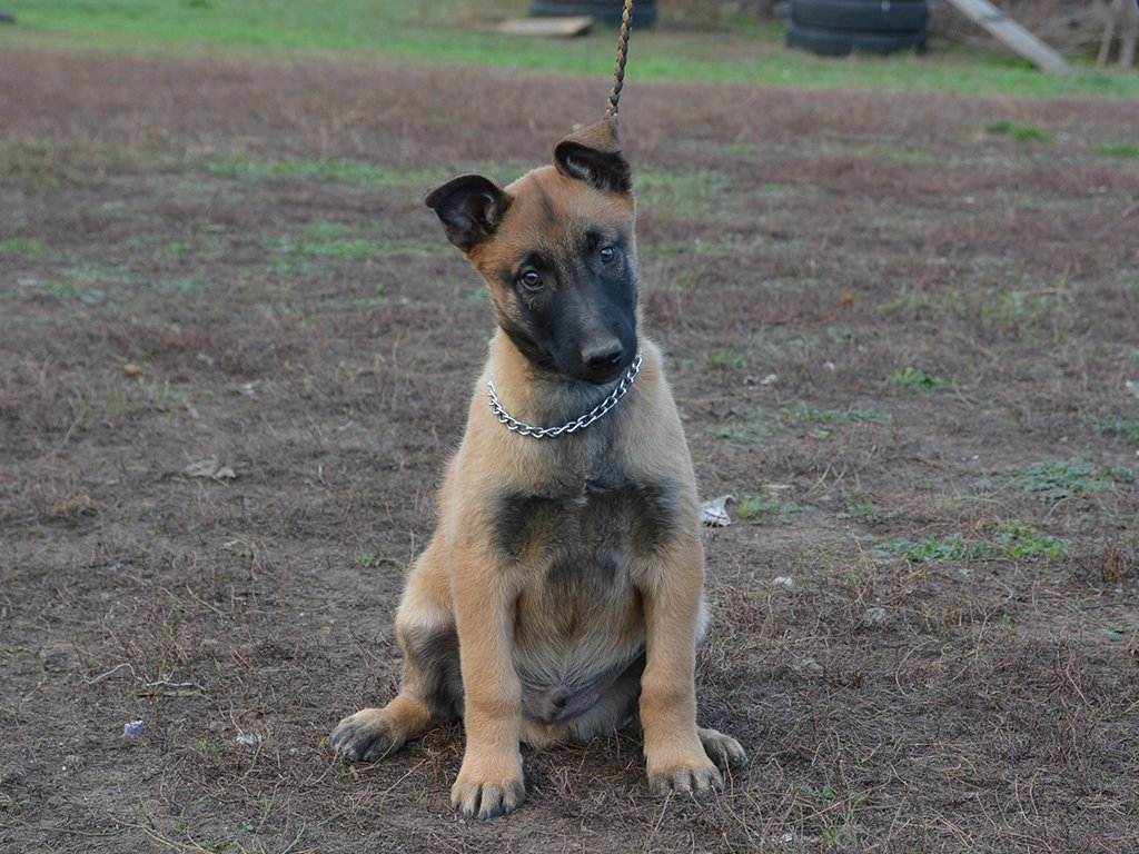 Brainy Belgian Malinois Puppy For Sale Euro Puppy