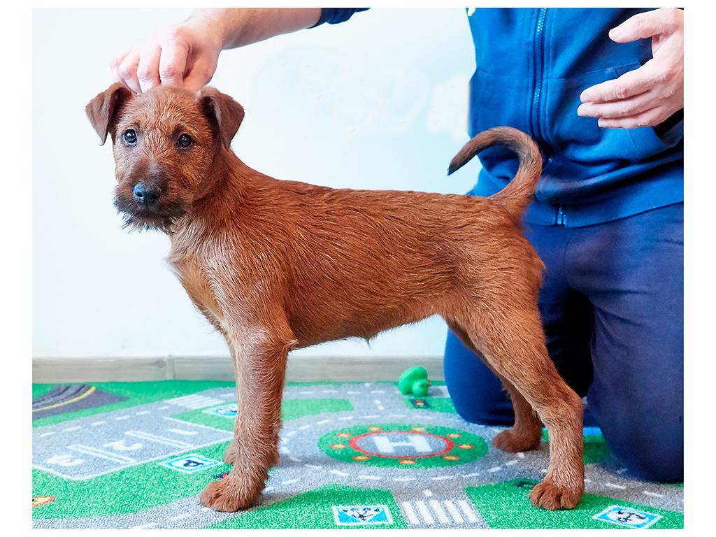 Brittany Irish Terrier Puppy For Sale Euro Puppy