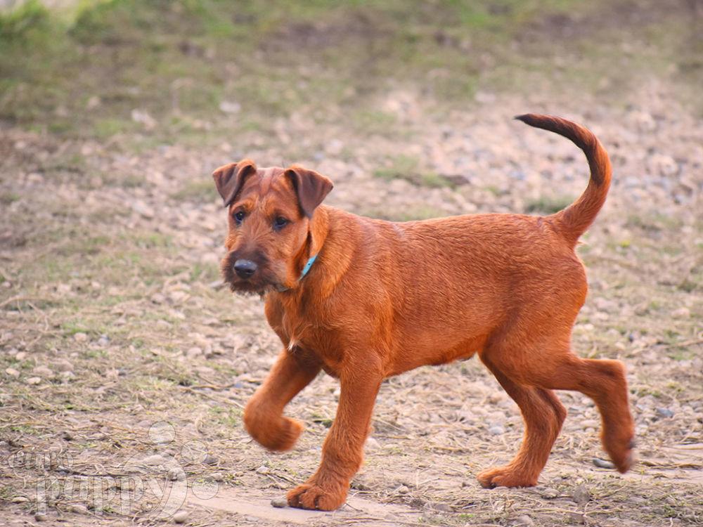 Boaz Irish Terrier Puppy For Sale Euro Puppy