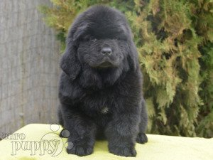 Price Of Newfoundland Puppies