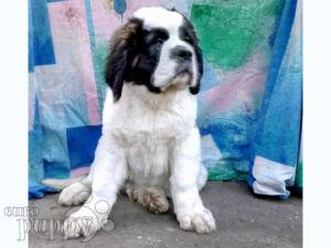 Saint Bernard For Sale   Saint Bernard Puppies
