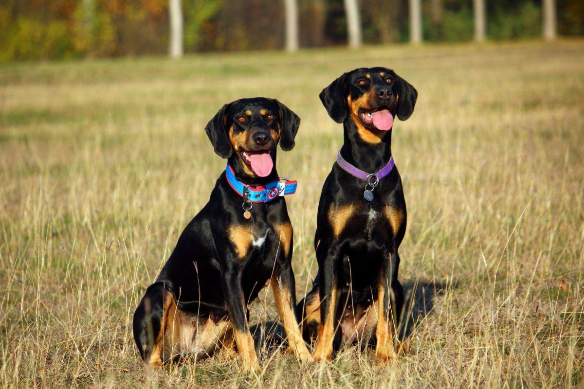 Louisiana Catahoula Leopard Dog Puppies Breed information