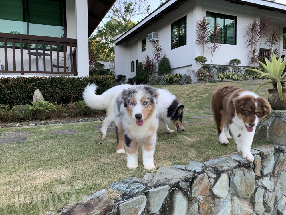 Oasis Australian Shepherd Puppy Taguig City 2223