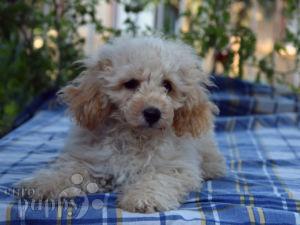 Miniature Poodle For Sale | Miniature Poodle Puppies