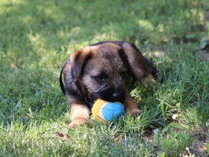 Border Terrier For Sale Border Terrier Puppies