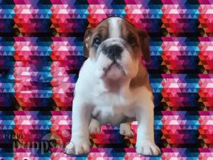 English Bulldog For sale - Buy English Bulldog Puppies Online