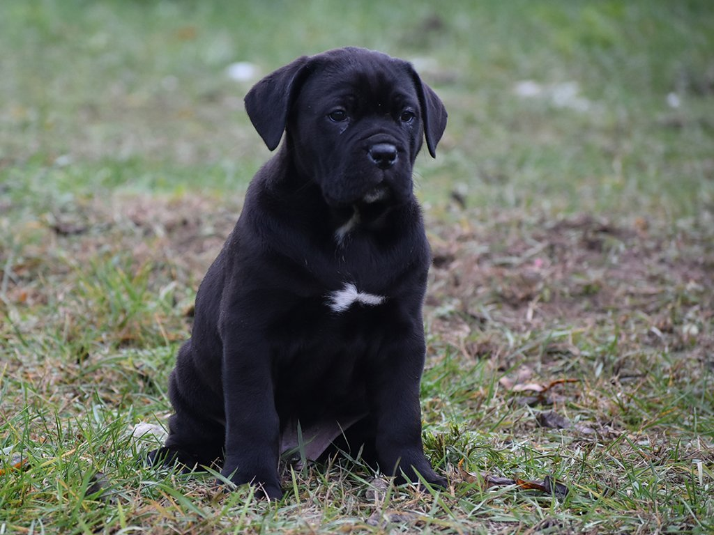 Apollo Cane Corso Italiano Puppy For Sale Euro Puppy