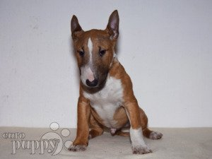 Mini Bullterrier For Sale Mini Bullterrier Puppies