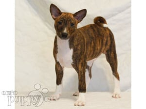 Basenji For Puppies