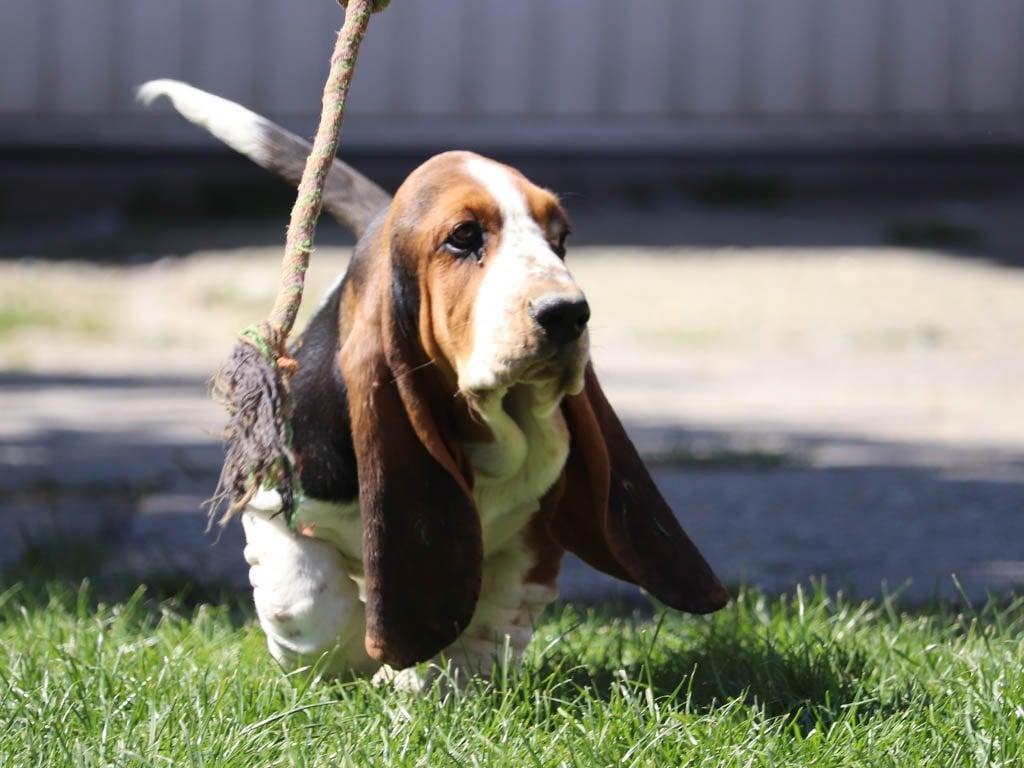 Molly Bloom Basset Hound Puppy For Sale Euro Puppy