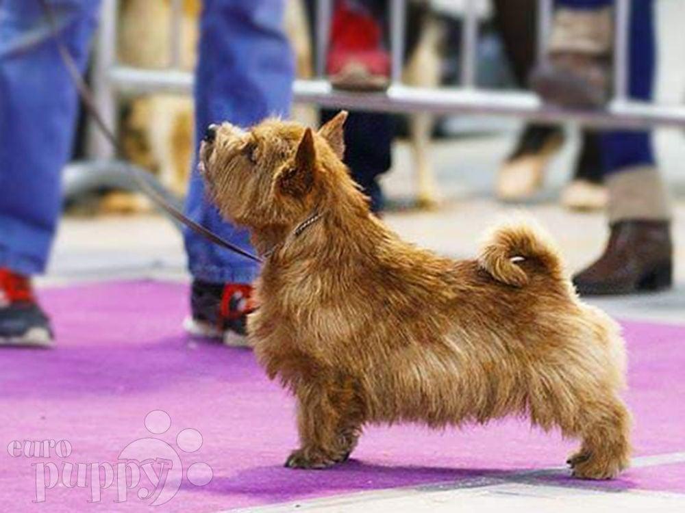 Jipsy - Norwich Terrier Puppy for sale   Euro Puppy