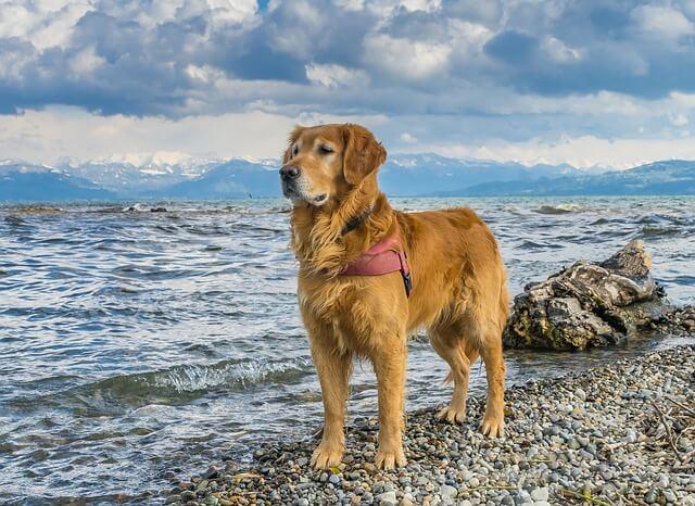 senior Golden Retriever lifespan