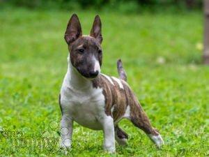 Miniature Bullterrier For Sale Miniature Bullterrier Puppies