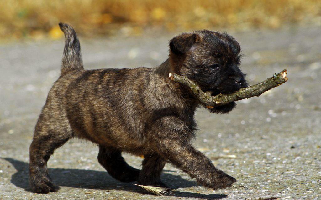 Grey Cairn Terrier Puppy picture