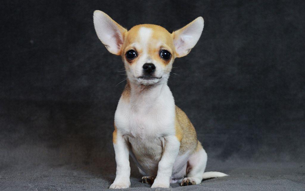 Bicolor Chihuahua picture