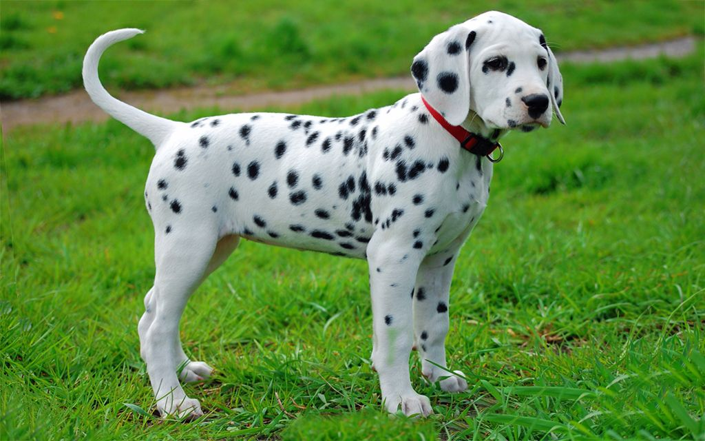 Black Markings Dalmatian Puppy picture