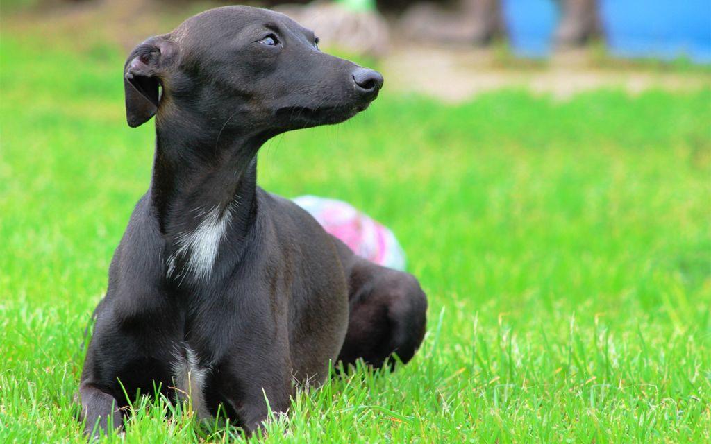 Black Italian greyhound picture