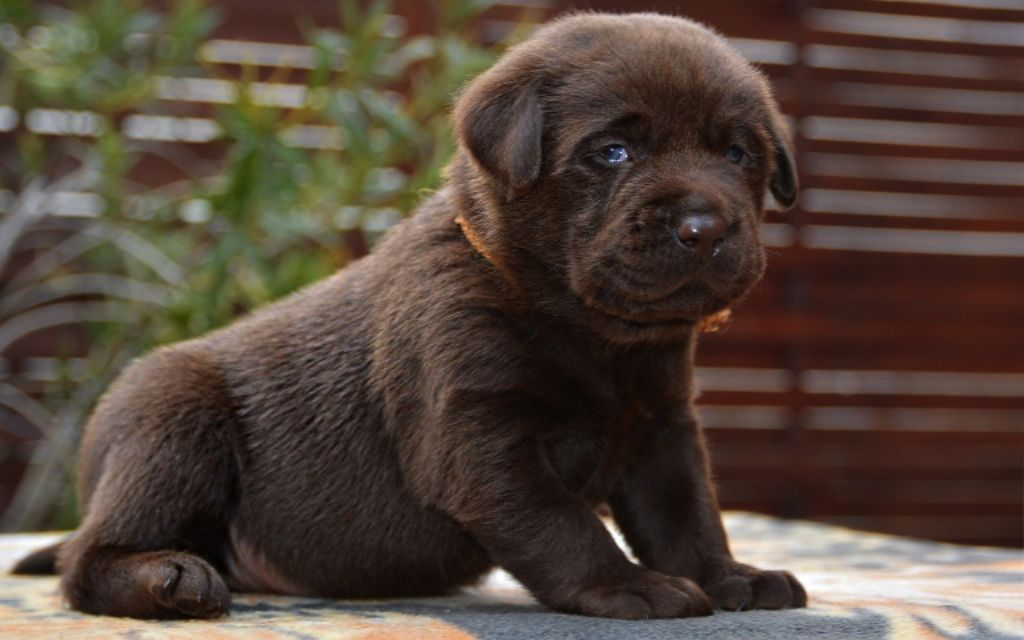 Labrador Puppy picture