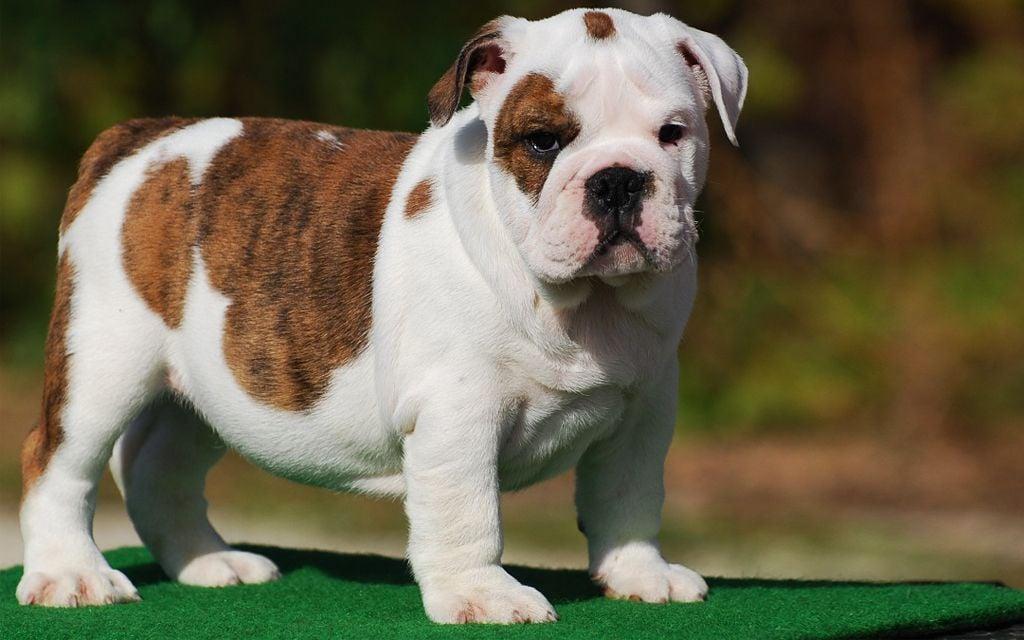 White with Markings Miniature English Bulldog Puppy image