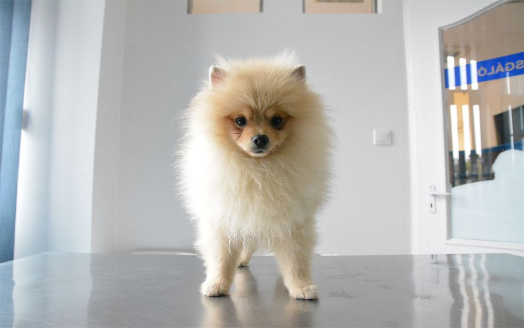 Creme Pomeranian Puppy picture