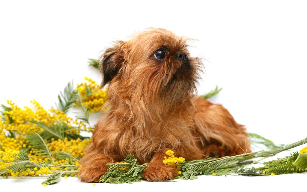Red Brussels Griffon Puppy picture