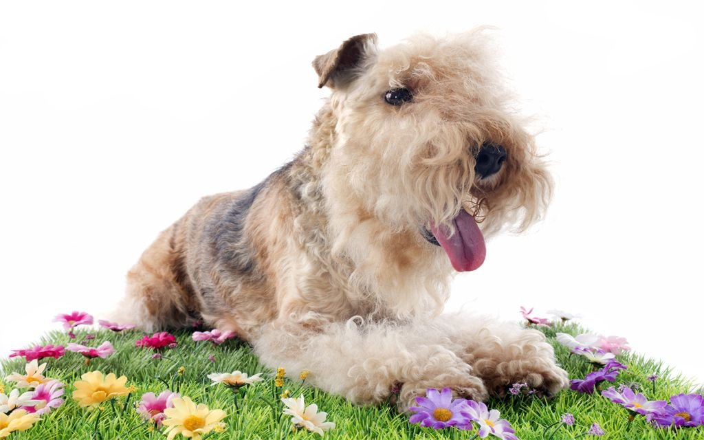 lakeland terrier picture