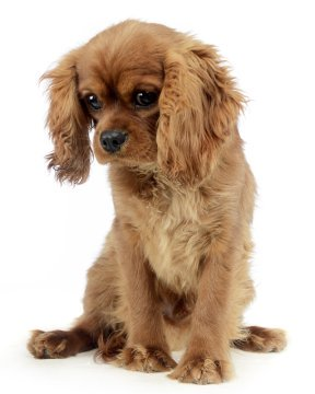Cavalier King Charles Spaniel Puppies Breed Information Puppies