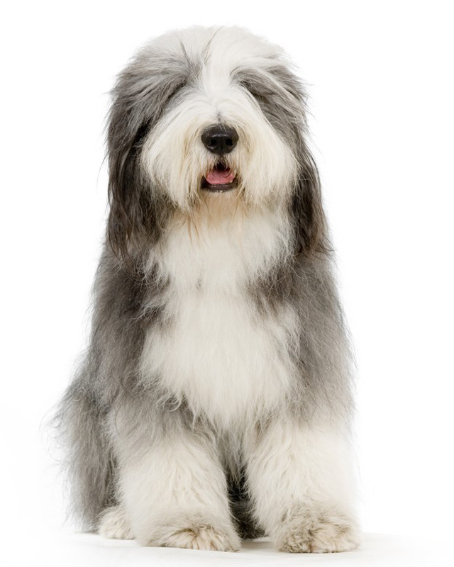 Bearded Collie picture
