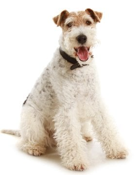 Fox Terrier image