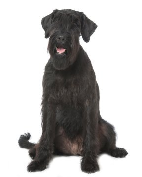 Giant Schnauzer Puppies Breed information & Puppies for Sale