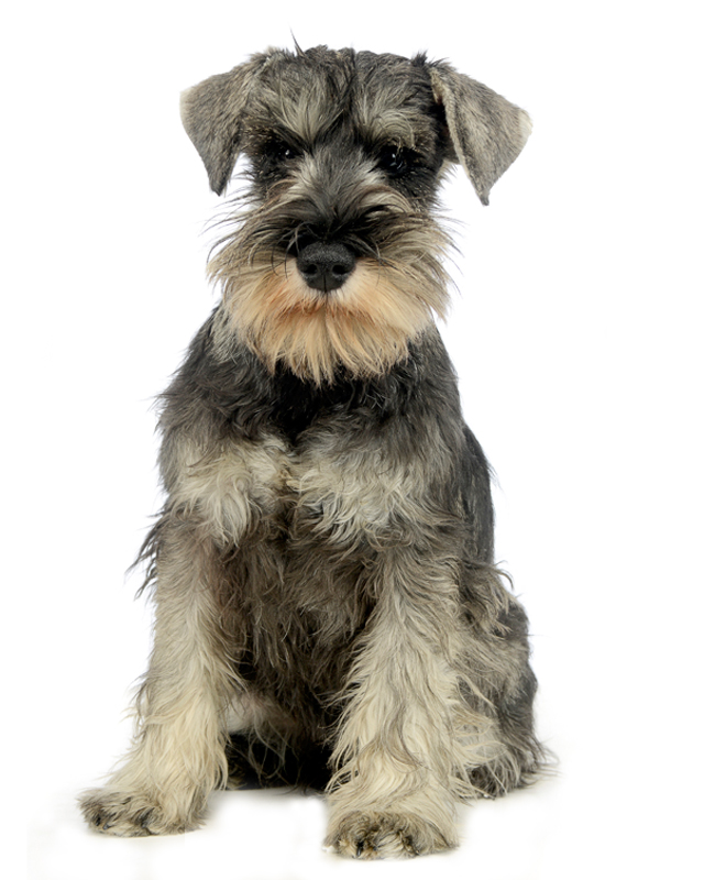 Miniature Schnauzer Puppies Breed information & Puppies for Sale