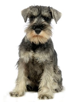 Miniature Schnauzer Puppies Breed Information Puppies For Sale