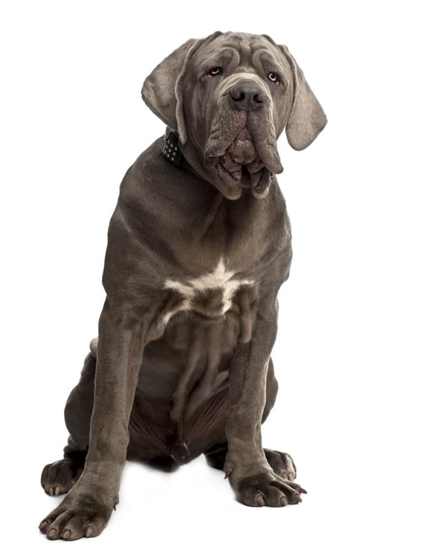 Neapolitan Mastiff image