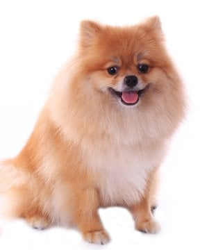 teacup pomeranian life expectancy pomeranian puppies breed information puppies for sale 3741