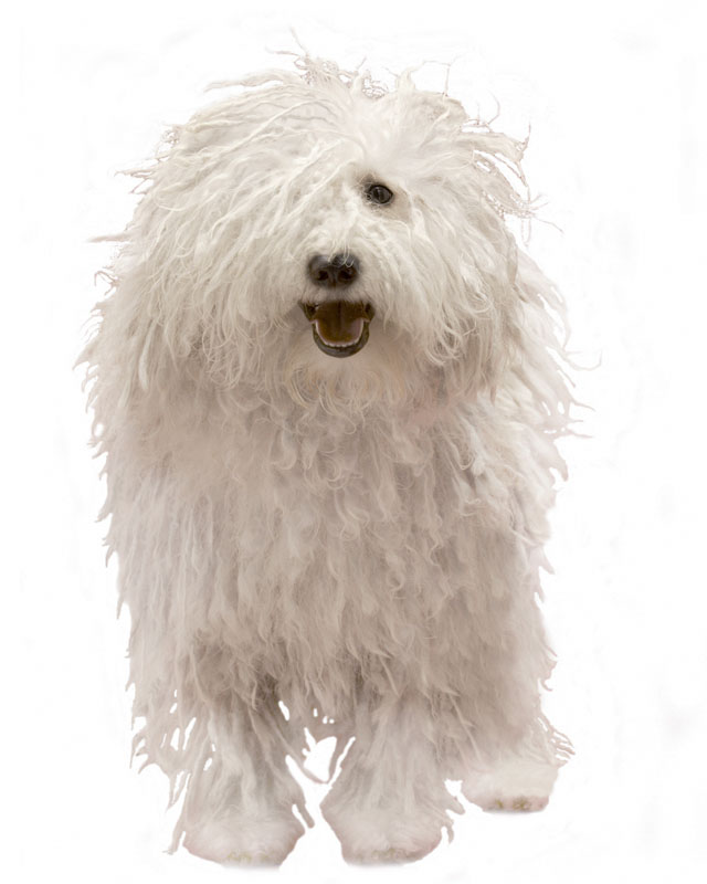 Komondor picture