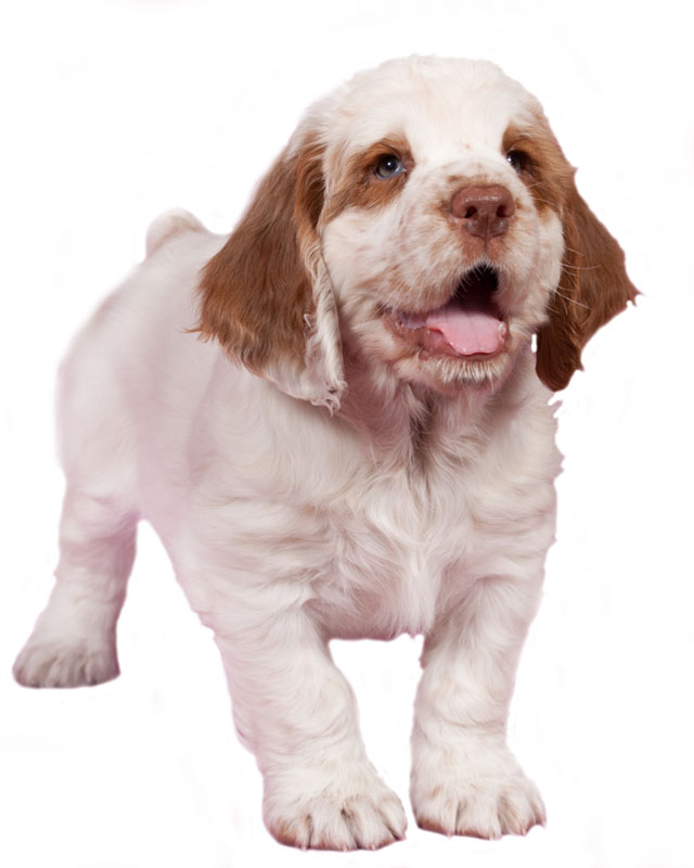 Clumber Spaniel Puppies Breed Information Puppies For Sale