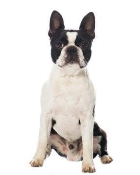 Boston Terrier image