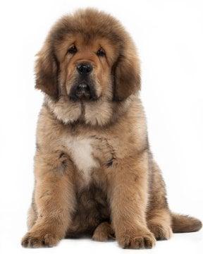 Tibetan Mastiff puppy image