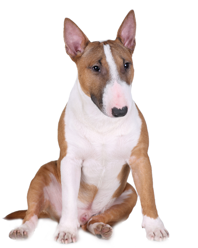 Mini Bullterrier Puppies Breed Information Puppies For Sale