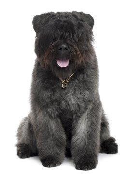 Bouvier Puppies Breed Information Puppies For Sale