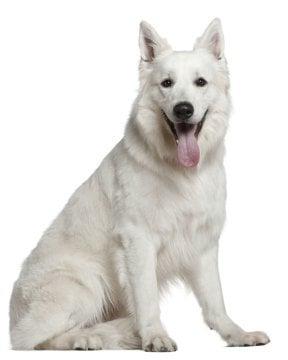 white swiss shepherd image