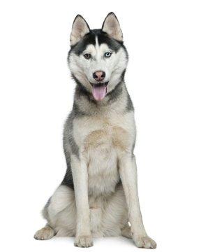 Siberian Husky image