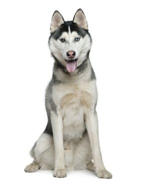 Siberian Husky Puppies Breed information & Puppies for Sale