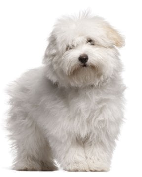 All White Dog Breed Names
